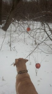 Milo apple tree in snow